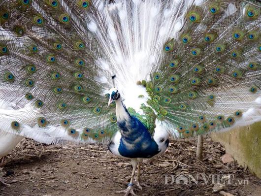 Chim công ngũ sắc