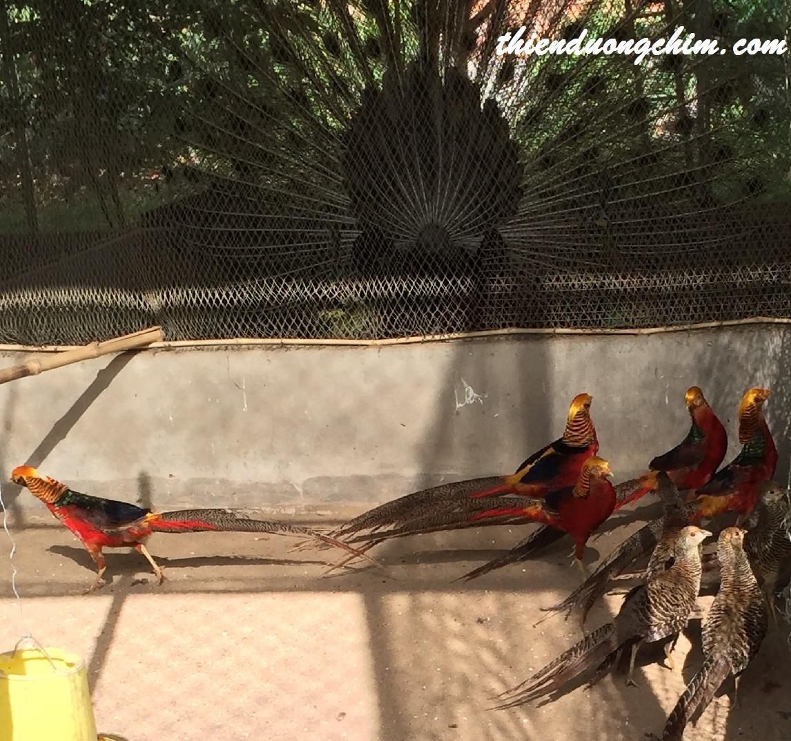 chim trĩ bảy màu đỏ