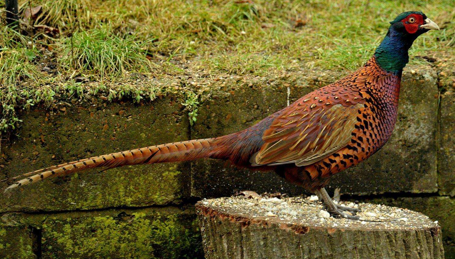 Tổng quan về chim Trĩ đỏ – P2