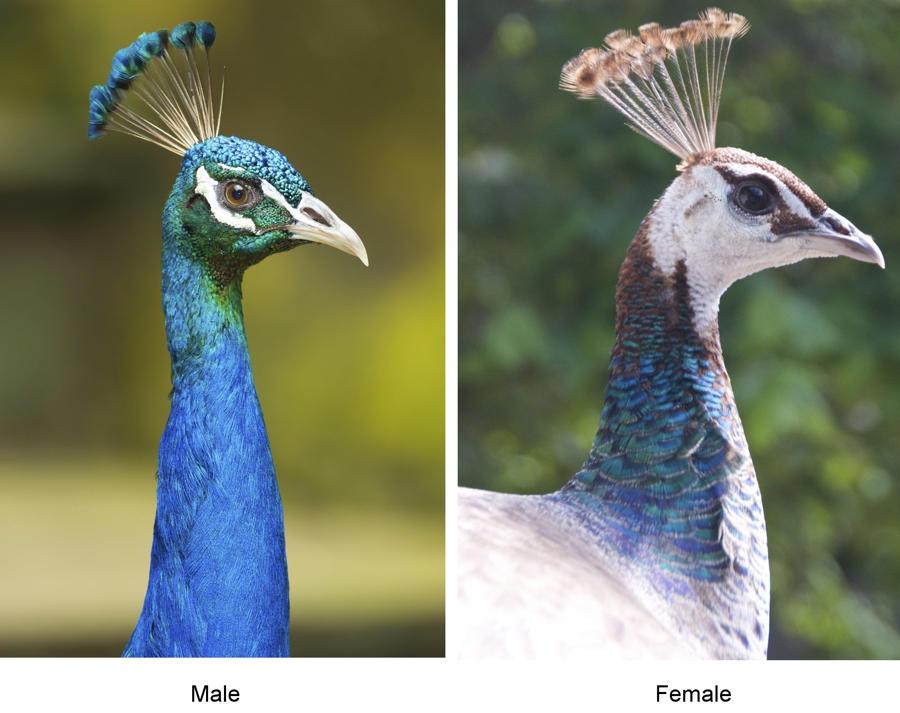Chim công – Chim đực và chim mái có gì khác nhau?