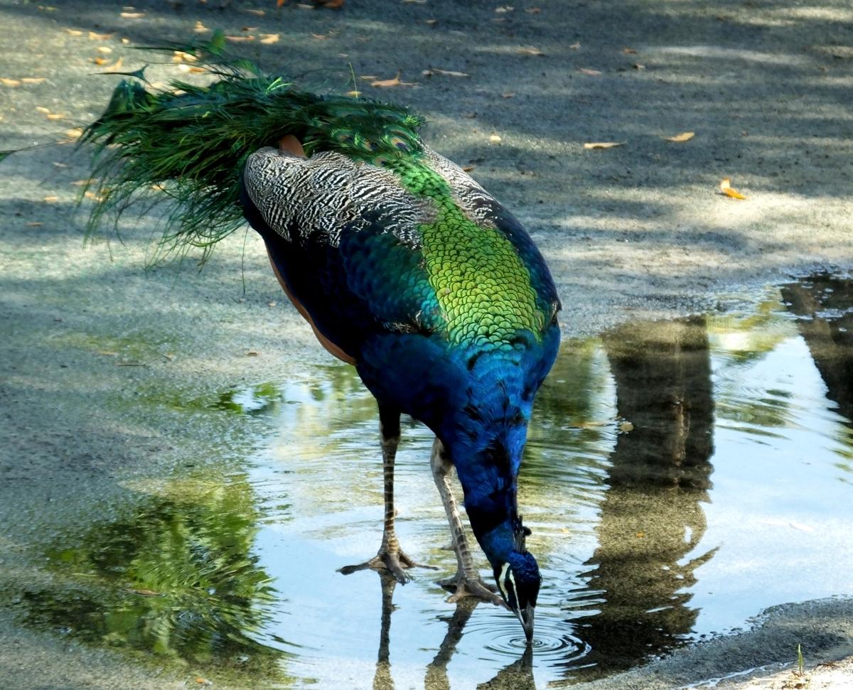 Thức ăn của chim công – sự khác biệt giữa công hoang dã và công được thuần hóa