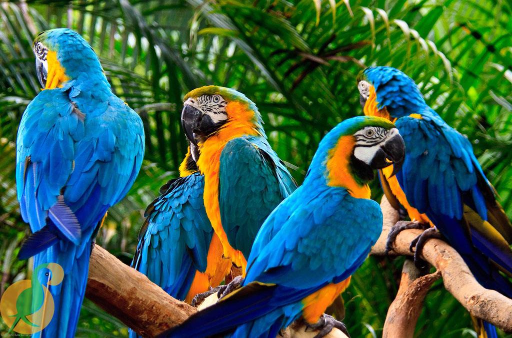 Vẹt Macaw
