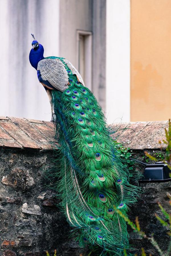 Chim Công – Vẻ đẹp quý tộc vang danh mọi thời đại