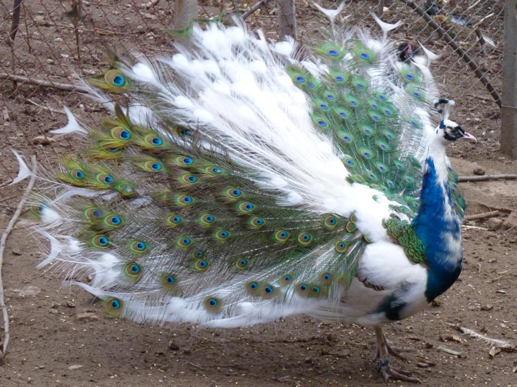Chim công ngũ sắc là 1 dạng đột biến của chim công