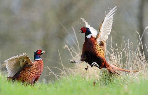 Thiên Đường Chim – Chia sẻ kỹ thuật nuôi chim trĩ đỏ (Phần 2)